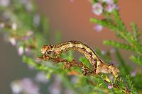 Zackenbindiger Rindenspanner, Raupe, Spannerraupe frisst an Heidekraut, Pflaumenspanner, Ectropis crepuscularia, Ectropis bistortata, Boarmia bistortata, Engrailed, Small Engrailed, Small Engrailed Moth, hieroglyphic moth, caterpillar, La Boarmie crépusculaire, Boarmie bi-ondulée, Spanner, Geometridae, looper, loopers, geometer moths, geometer moth