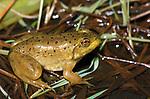 Bull Frog, Rana Catesbeiana, in marsh, Canada.