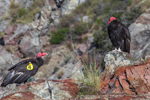Two California Condors are perched on the cliffs at Big Sur , California