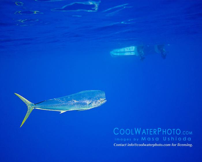 mahi-mahi, dorado, or common dolphin-fish, Coryphaena hippurus, adult bull free swimming by fishing boat, Kona Coast, Big Island, Hawaii, USA, Pacific Ocean