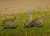 Guinea Fowl foraging for food in the Okavango Delta, Botswana Africa.
