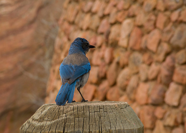 Mountain bluebird, Red Rocks State Park, Colorado .  John leads private, wildlife photo tours throughout Colorado. Year-round.