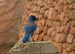 Mountain bluebird, Red Rocks State Park, Colorado .  John leads private, wildlife photo tours throughout Colorado. Year-round.