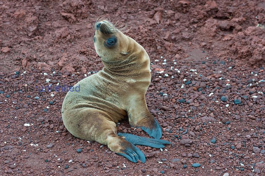 Galapagos Sea Lion pup (Zalophus californianis wollebaeki), Rabida Island, Galapagos Islands
