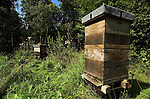 Honey Bee Hive ( Apis mellifera), in surrounding woodland, wide angle, worker bees coming out of entrance.United Kingdom.Nature.Wildlife.Insects.Animal.Behaviour.Lifecycle.Metamorphosis.Insects.P-INS275-91.Robert Pickett.www.papiliophotos.com  Tel: +44 (0)1227 360996.PLEASE READ OUR LICENCE TERMS. ALL DIGITAL IMAGES MUST BE DESTROYED UNLESS OTHERWISE AGREED IN WRITING..