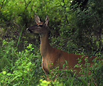 "Deer encountered during the Esopus Creek Conservancy and John Burroughs Natural History Society co-sponsored, ""Breeding Birds and Butterfles Walk- led by Steve Chorvas, in the Esopus Bend Nature Preserve in Saugerties, NY, on Saturday, June 17, 2017. Photo by Jim Peppler. Copyright/Jim Peppler-2017."