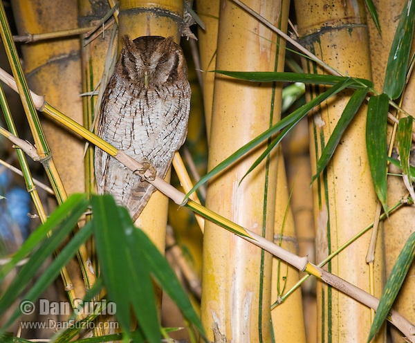 Tropical screech owl, Otus choliba, near its nest in bamboo behind the Hotel Bougainvillea, San Jose, Costa Rica