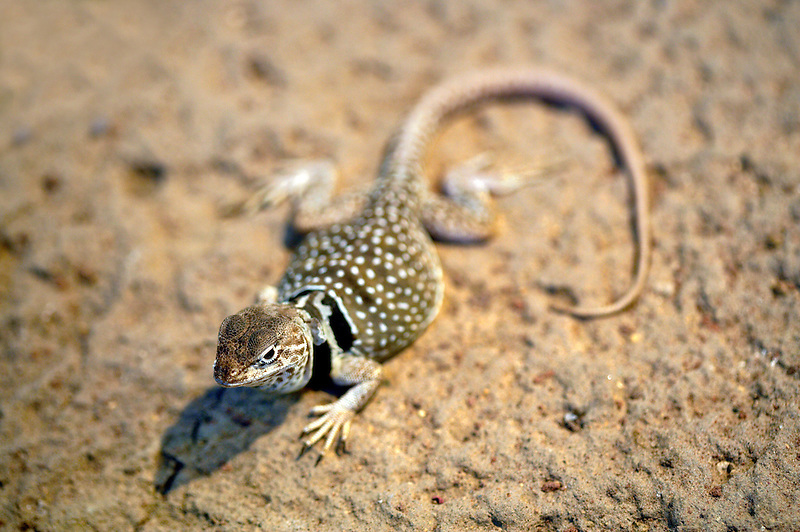 Desert collared lizard (Crotaphytus insularis). Oregon High Desert museum