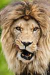Barbary lion in captivity