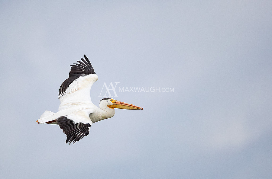 I sometimes see pelicans in eastern Idaho during my spring visits.