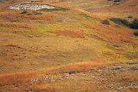 Pronghorn Antelope (Antiloapra americana) bucks--bachelor band.  Western U.S., fall.