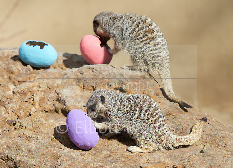 Meerkats' Easter surprise <br /> Animals enjoy egg-citing Easter hunt at ZSL London Zoo, Rehents Park, London, Great Britain <br /> 13th April 2017 <br /> <br /> <br /> Zookeepers have shelled out on an egg-stravagant surprise for ZSL London Zoo&rsquo;s meerkat mob to enjoy &ndash; as they get ready to celebrate the Easter weekend.<br /> .<br />  <br /> Zookeeper Veronica Heldt, said: &ldquo;While there will be no chocolate for our inquisitive meerkats, we&rsquo;ve prepared an Easter egg hunt for the clan.<br />  <br /> &ldquo;This will encourage them to seek out treats hidden in the foliage and forage for food, mimicking how they would seek their food in the wild.<br /> <br /> <br /> Photograph by Elliott Franks <br /> Image licensed to Elliott Franks Photography Services