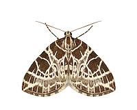 70.088 (1772)<br /> Netted Carpet - Eustroma reticulata