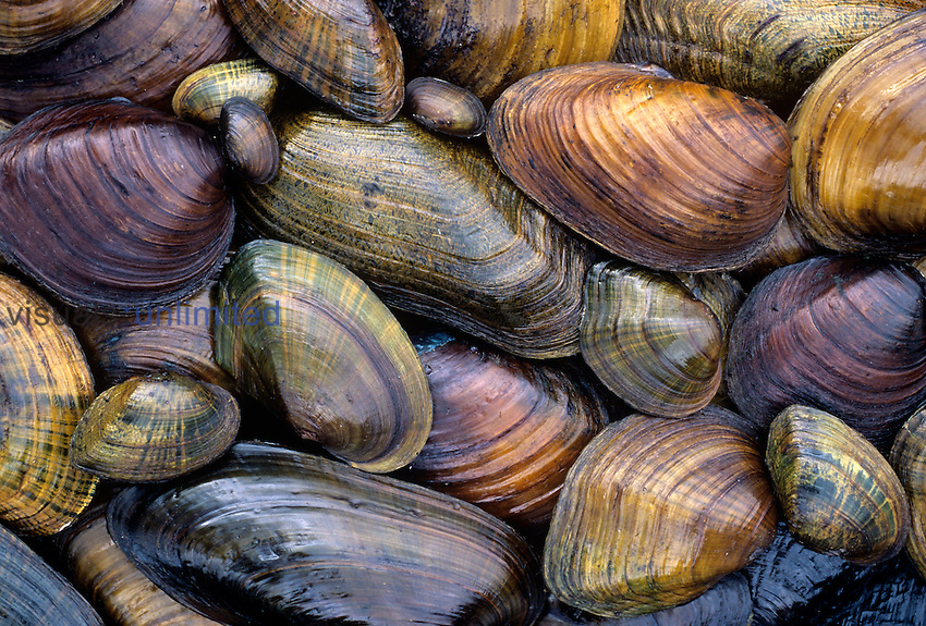Freshwater Mussels from the Ohio River drainage, USA.