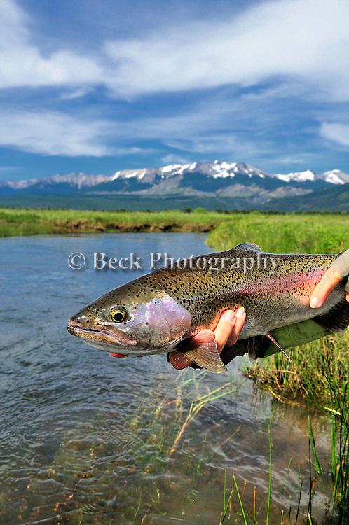 Spring Creek Rainbow