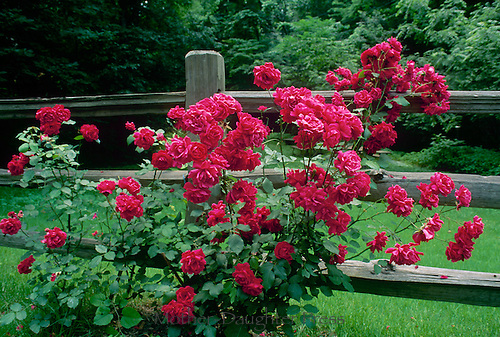Red rose bush blooms profusely next to split rail fence in country yard