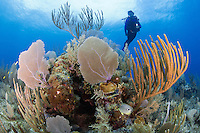 TR0191-D. A scuba diver (model released) swimming overtop healthy coral reef covered with Common Sea Fans (Gorgonia ventalina) and various species of sea rods and sea plumes. Cayman Islands, Caribbean Sea.<br /> Photo Copyright &copy; Brandon Cole. All rights reserved worldwide.  www.brandoncole.com