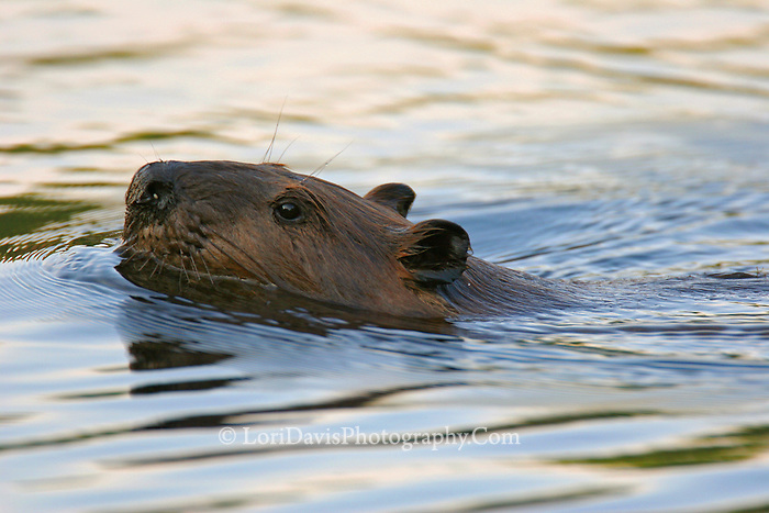 Swimming Beaver Portrait  #W19