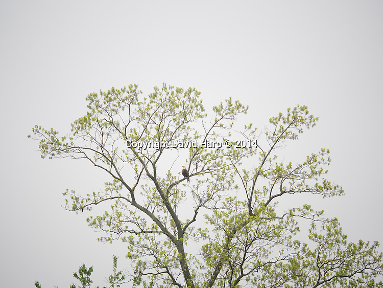 A bald eagle surveys its domain from a tree leafing out in May.