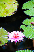 Picture of a Water Lilly Flower in a Pond at Pura Goa Gaja, Elephant Cave Temple, Bali, Indonesia. Elephant Cave Temple (Pura Goa Gajah in Indonesian) is a Hindu Temple on Bali dating back to the 11th century.