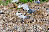 Black headed Gull (Chroicocephalus ridibundus) sitting on Ground nest. Sitting in the hot sun becomes the daily routine once the eggs are laid. Some nests are more comfortable looking that others. Some have better finishing, with moss and other soft furnishings. Phragmities reeds for the bulk of the nest. Incubation 23 to 26 days.