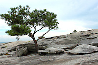 Stock photo: Solitary pine tree stands on a rocky slope on top of the stone mountain, Georgia, US.