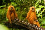 Red Leaf Monkey (Presbytis rubicunda) female and male, Tawau Hills Park, Sabah, Borneo, Malaysia