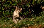 Cats, Argentina
