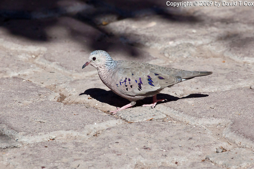 Common Ground-Dove, Loreto, Baja Sur, Mexico