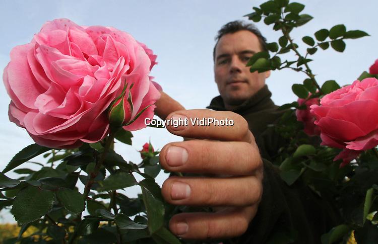 Foto: VidiPhoto..ZUTPHEN - Bij rozenkwekerij De Wilde in Zutphen wordt dinsdag alles in gereedheid gebracht voor het nieuwe rozenseizoen dat komend weekend van start gaat met de zogenoemde Nieuwe Oogstdagen. De 8 ha. grote kwekerij handelt in 1200 soorten snij- en tuinrozen en bezit daarmee een van de grootste assortimenten van ons land. Volgens de rozenkweker is er dit jaar opmerkelijk veel vraag naar rozenstruiken. Een belangrijk deel van de rozen van De Wilde gaat voor export naar het buitenland.
