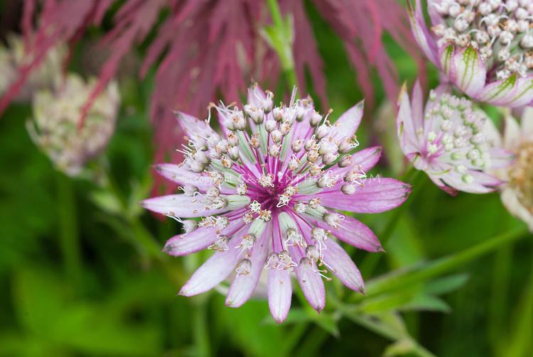 Astrantia major 'Penny's Pink' closeup of pink masterwork umbellica flowers