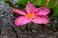 Rain falls on a pink plumeria flower in a pond on O'ahu.