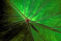 Close-up of a lush ribbed tropical taro leaf.