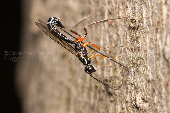 A female Ichneumon Wasp (Rhyssella nitida) oviposits (lays eggs) in the larvae of wood wasps in the trunk of a dead American Beech (Fagus grandifolia) tree.  Rhyssella nitida parasitizes Xiphydria spp.