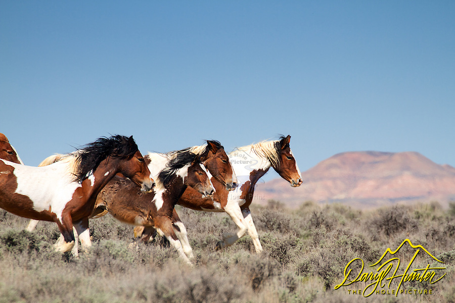 Running herd of paint mustangs, McCullough Peaks Mustangs, Cody Wyoming