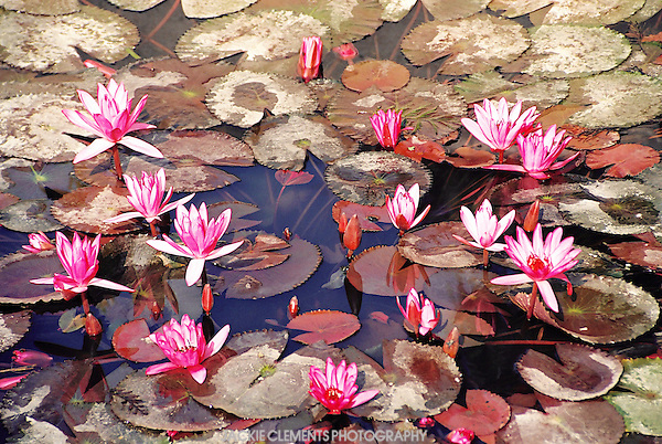 Lily pond, Hanoi, Vietnam