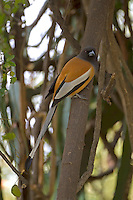 Rufous Treepie - Dendrocitta vagabunda Large, omnivorous member of the crow family. Widespread across the Indian subcontinent. Recognised by its rufous back, black hood, and grey and black patterns on wings and long tail.