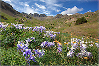 From American Basin just outside of Lake City, Colorado, the Columbine were in full bloom this July. These Colorado Wildflowers were along the trail leading up to Handies Peak, one of Colorado's 14ers. Like the Texas Bluebonnet, the Columbine is Colorado's state Flower.