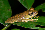 Tree Frog, Hyla calcarata, on leaf in jungle, Iquitos, Northern Peru, nocturnal, . .South America....