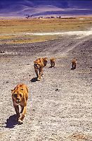 female lions and cubs