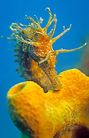 long-snouted seahorse, Hippocampus guttulatus, camouflaged among yellow sponge, Piran, Slovenia, Mediterranean Sea, Atlantic Ocean