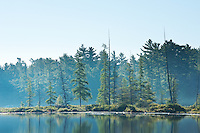 Blue morning light on the white pines on the shores of Balsam Lake, Killarney Provincial Park.