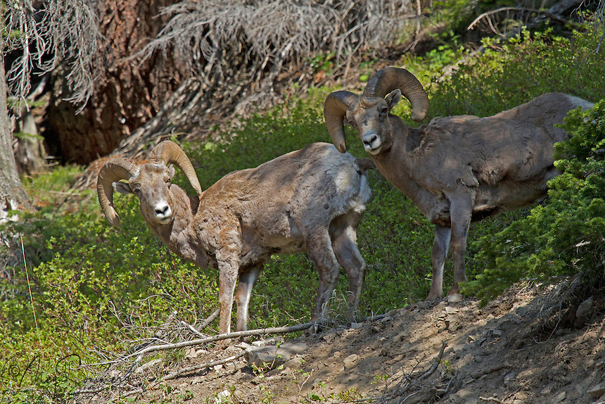 "The bighorn sheep (Ovis canadensis) is a species of sheep in North America named for its large horns.Sheep originally crossed to North America over the Bering land bridge from Siberia: the population in North America peaked in the millions, and the bighorn sheep entered into the mythology of Native Americans. In Yellowstone, native people became known as ""Sheepeaters"" for their preference for the animal. However, by 1900 the population had crashed to several thousand. Conservation efforts (in part by the Boy Scouts) have restored the population to more healthy numbers."