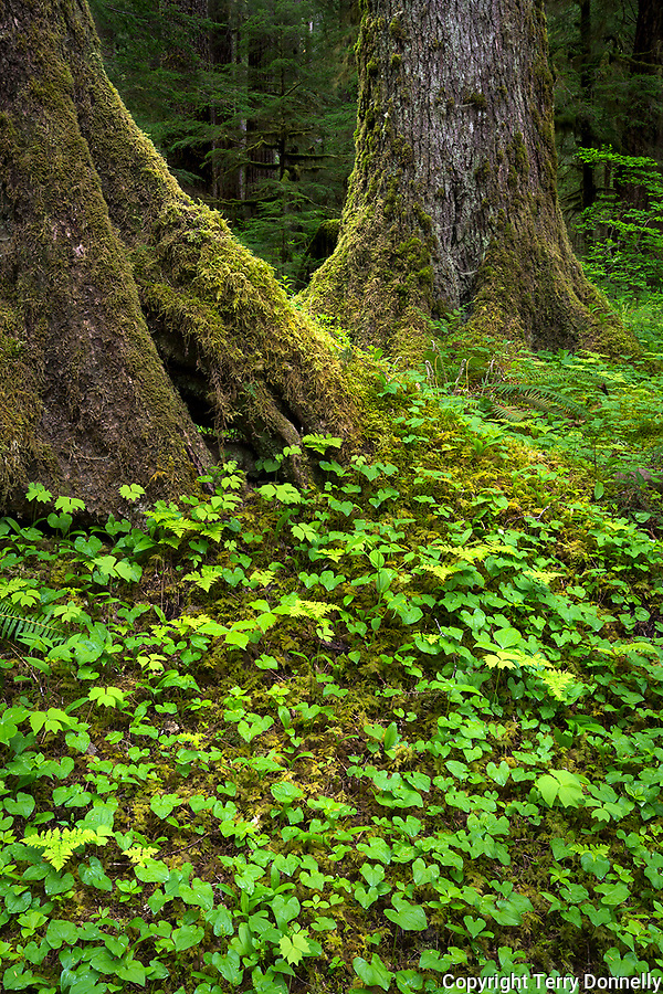 Olympic National Park, WA:<br /> Old growth trunks and forest floor, early spring, Sol Duc  valley