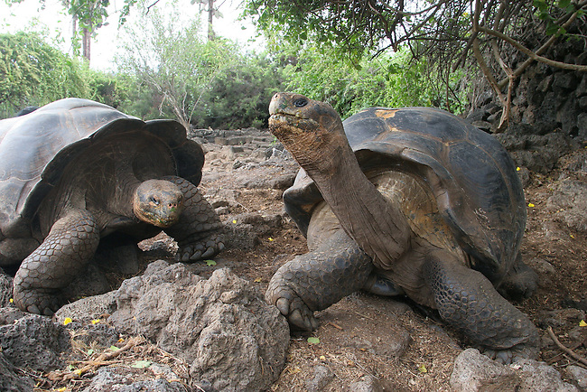 Two Giant Tortoises at the Charles Darwin Research Station. Puerto Ayora. Santa Cruz. Galapagos