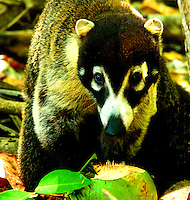 White Nosed Coati