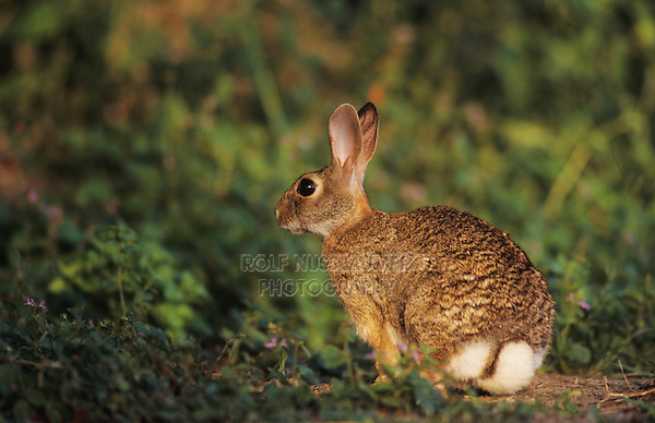 Eastern Cottontail, Sylvilagus floridanus, adult, Starr County, Rio Grande Valley, Texas, USA, May 2002