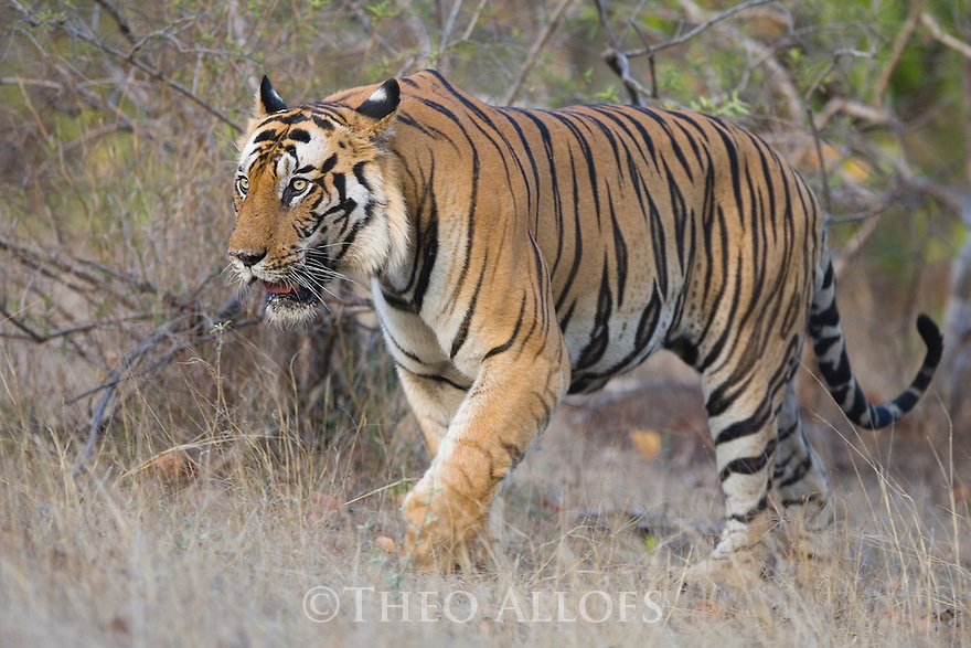 Dominant male Bengal tiger walking in open forest, April, dry season