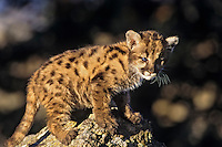 Young Mountain Lion cub or Cougar Kitten (Felis concolor)