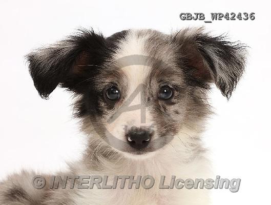 Kim, ANIMALS, REALISTISCHE TIERE, ANIMALES REALISTICOS, fondless, photos,+Mini American Shepherd puppy,++++,GBJBWP42436,#a#